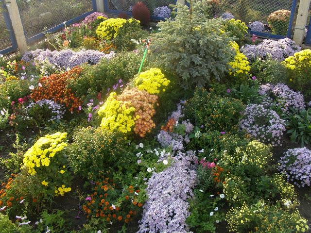 Хризантемы на даче